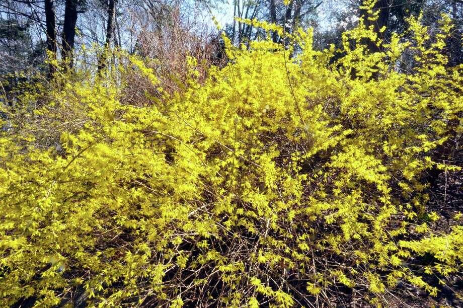 Forsythia(Forsythia suspensa) Photo: Michael Duffy
