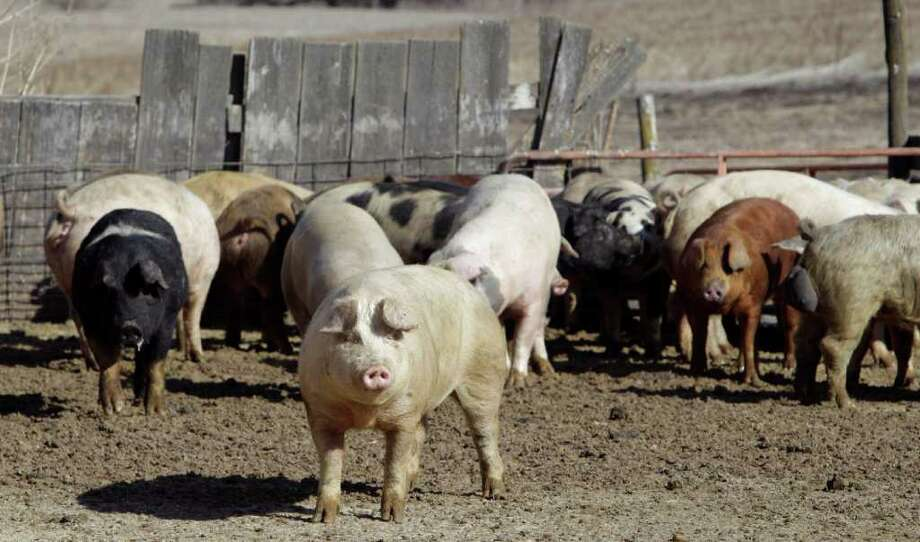 In this Feb. 27, 2012 photo, sows and boars roam in an open feedlot on Paul Menke's farm in Clear Lake, Iowa. While the pork industry is under fire for the common practice of keeping pregnant sows confined for most of their lives in tight stalls called gestation crates, Menke's sows live outdoors. Photo: AP