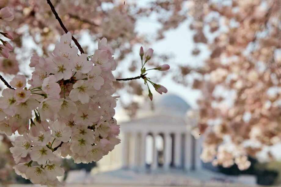 Blooming cherry blossoms frame the Jefferson Memorial, on the Tidal Basin in Washington. Washington's famous cherry blossoms turn 100 years old this year, offering a chance to look at the history of the oldest trees still standing that were once planted by first lady Helen Taft and the Japanese emperor's wife.  (AP Photo/Charles Dharapak, File) Photo: Charles Dharapak