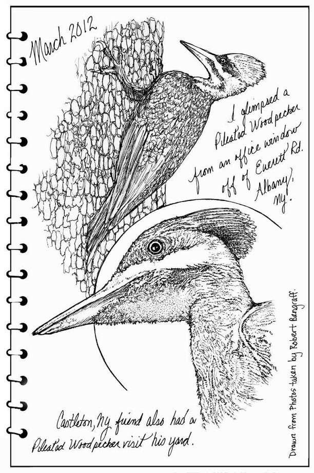 Pileated woodpecker by Carol Coogan