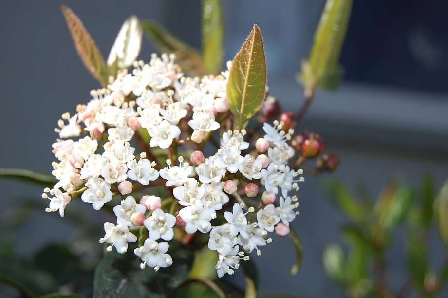 Viburnum -- a great landscape shrub. Photo: Erle Nickel