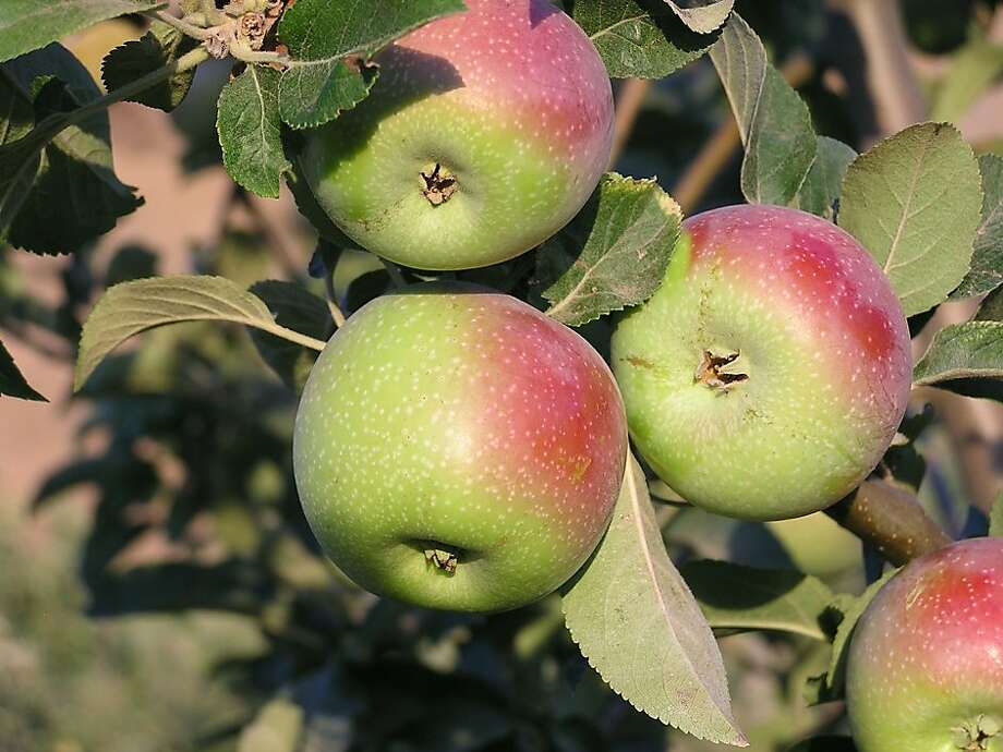 Winter Pearmain, one of the apple varieties best adapted to San Francisco, is also an heirloom. It is the oldest English apple known, dating to 1200 A.D. Photo: Trees Of Antiquity