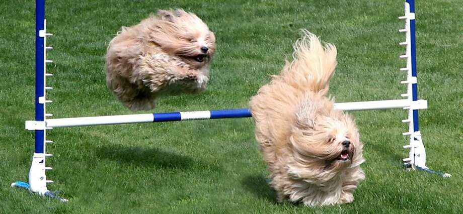 Dog agility exercises are part of Filoli House's Spring Fling. Family-Focused Event at Filoli  Historic Site Welcomes Families to Spring Fling  10:00 a.m. to 3:30 p.m., March 31, 2012 86 Cañada Road, Woodside, CA  94062 Photo: Devon Cattell