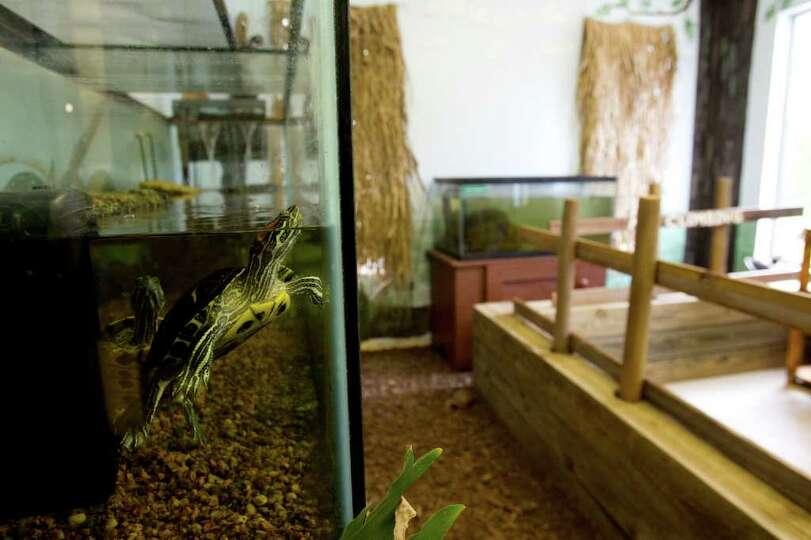 A Turtle Swims In An Aquarium The Lake Houston Wilderness