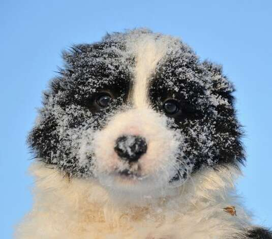 Seven-week old  Border Collie puppy rests after a play with its siblings in their garden as outdoors temperatures dropped below minus 10 degrees celsius in the village of Bodice, Slovakia.  (JOE KLAMAR / AFP/Getty Images)