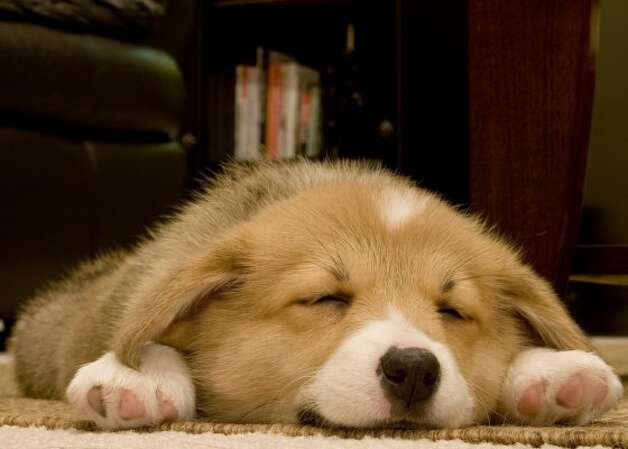 A corgi puppy takes a snooze. (Flickr/recompose)