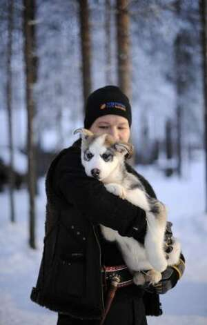 A Siberian Husky puppy is carried in a Husky farm in Rovaniemi.  (OLIVIER MORIN / AFP/Getty Images)