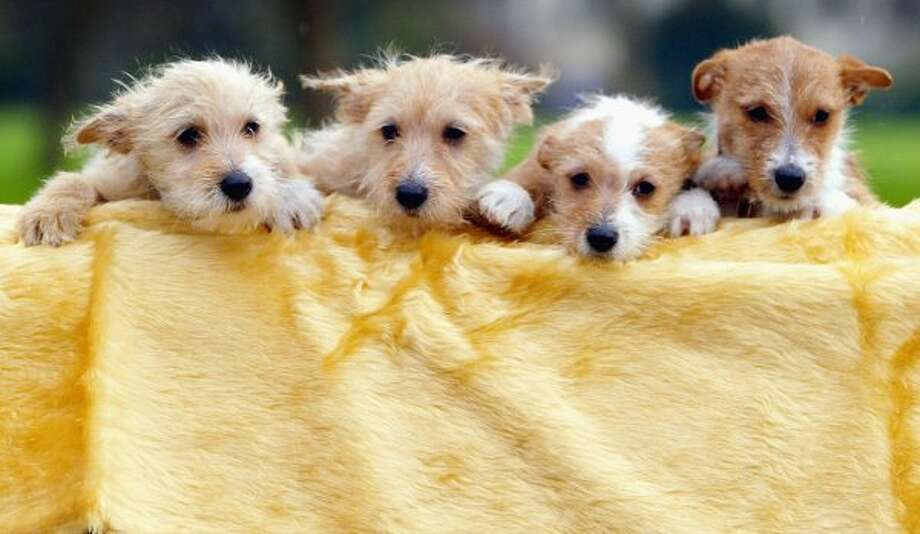 Portuguese Podengo puppies are displayed for the media during the launch of the Crufts Dog Show. (Getty Images)