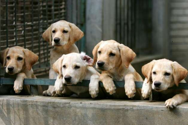 Puppies watch on at a police dog training base. (Getty Images)