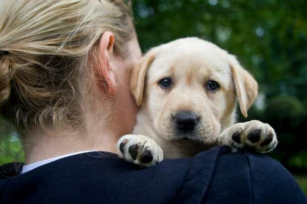 A yellow Labrador retriever puppy from breeder Gretchen Boss of Breckin Labradors looks over Julia's shoulder in West Springfield, Mass., on Sunday, August 9, 2009. (Brett Mickelson / Brett Mickelson)