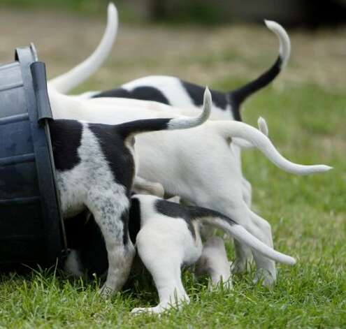 Fox hound puppies feed from a bucket as hunting season approaches. (Getty Images)