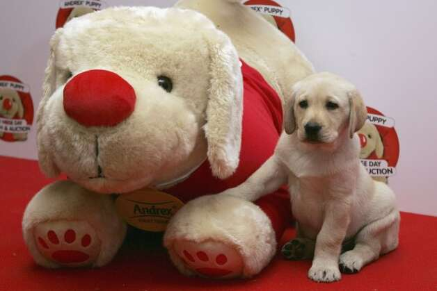 The Andrex puppy plays around at the Andrex Red Nose Day Charity Lunch and Auction. (Gareth Cattermole / Getty Images)