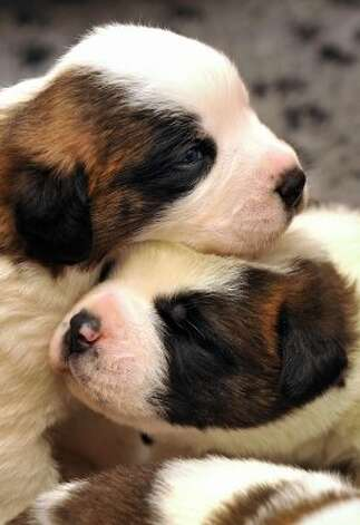 Two-week-old Saint Bernard puppies play at the Barry Foundation breeding kennels in Martigny. (FABRICE COFFRINI / AFP/Getty Images)