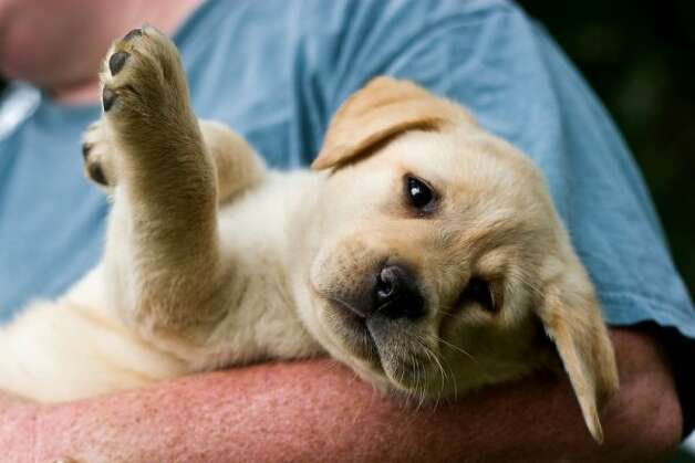 A yellow Labrador retriever puppy is held by breeder Gretchen Boss of Breckin Labradors in West Springfield, Mass., on Sunday, August 9, 2009. (Brett Mickelson / Brett Mickelson)