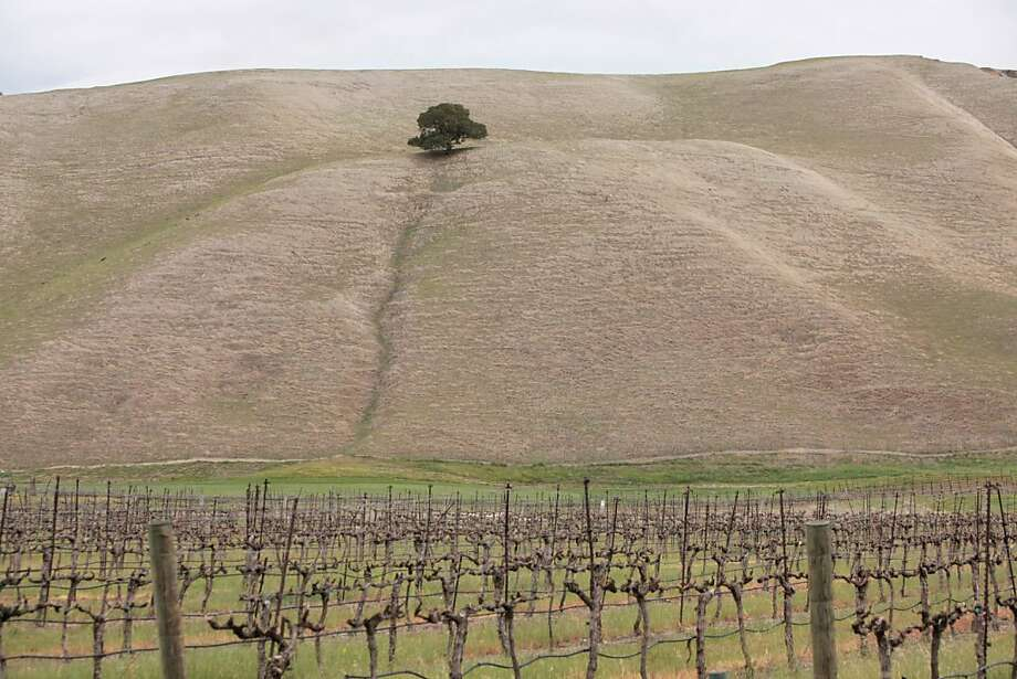 Vines are seen at Wente Vineyards in Livermore, California on March 16, 2012. Photo: Pete Kiehart, The Chronicle