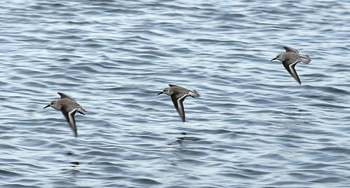 Sanderlings in Princeton Harbor, Princeton-by-the-Sea.