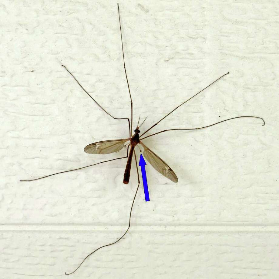 This  large crane fly is among many that are visiting the Mims place. The arrow points to a haltere, an organ that assures stable flight.    Photo: Forrest M. Mims III, For The Express-News