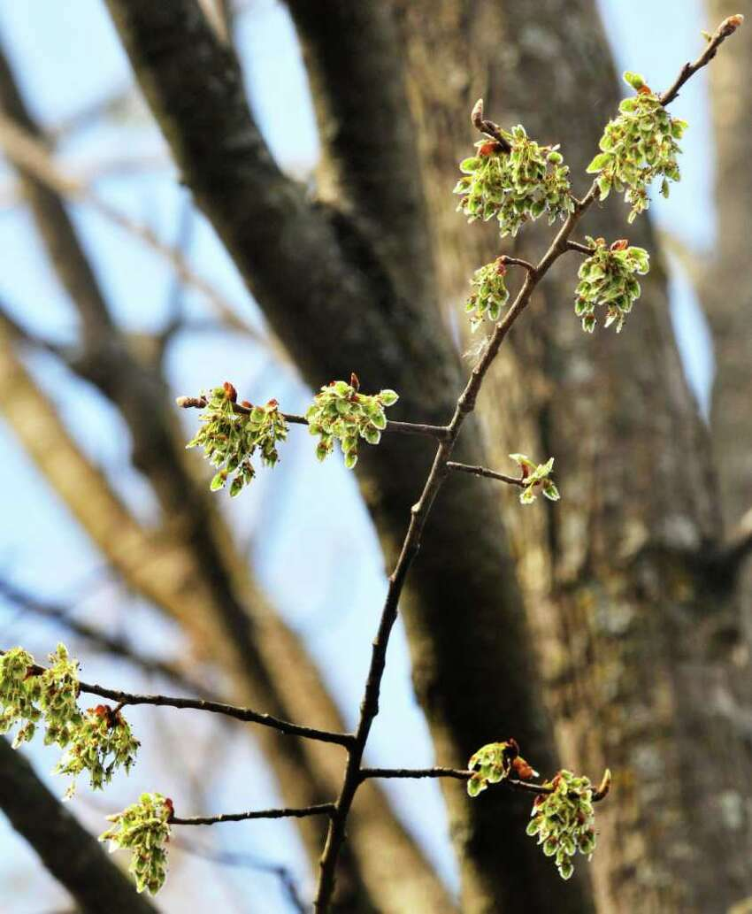 Buds bloom on a branch of an elm tree on the Union College campus Friday March 23, 2012. (John Carl D'Annibale / Times Union)