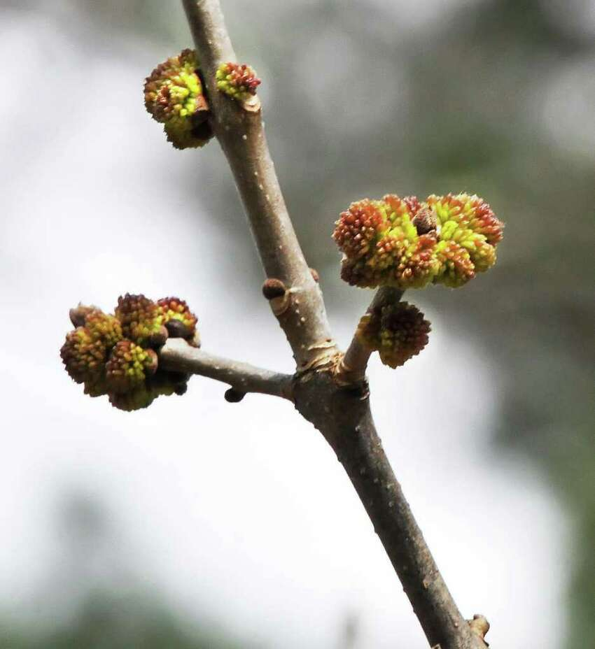Buds on an ash tree on the Union College campus Friday March 23, 2012. (John Carl D'Annibale / Times Union)