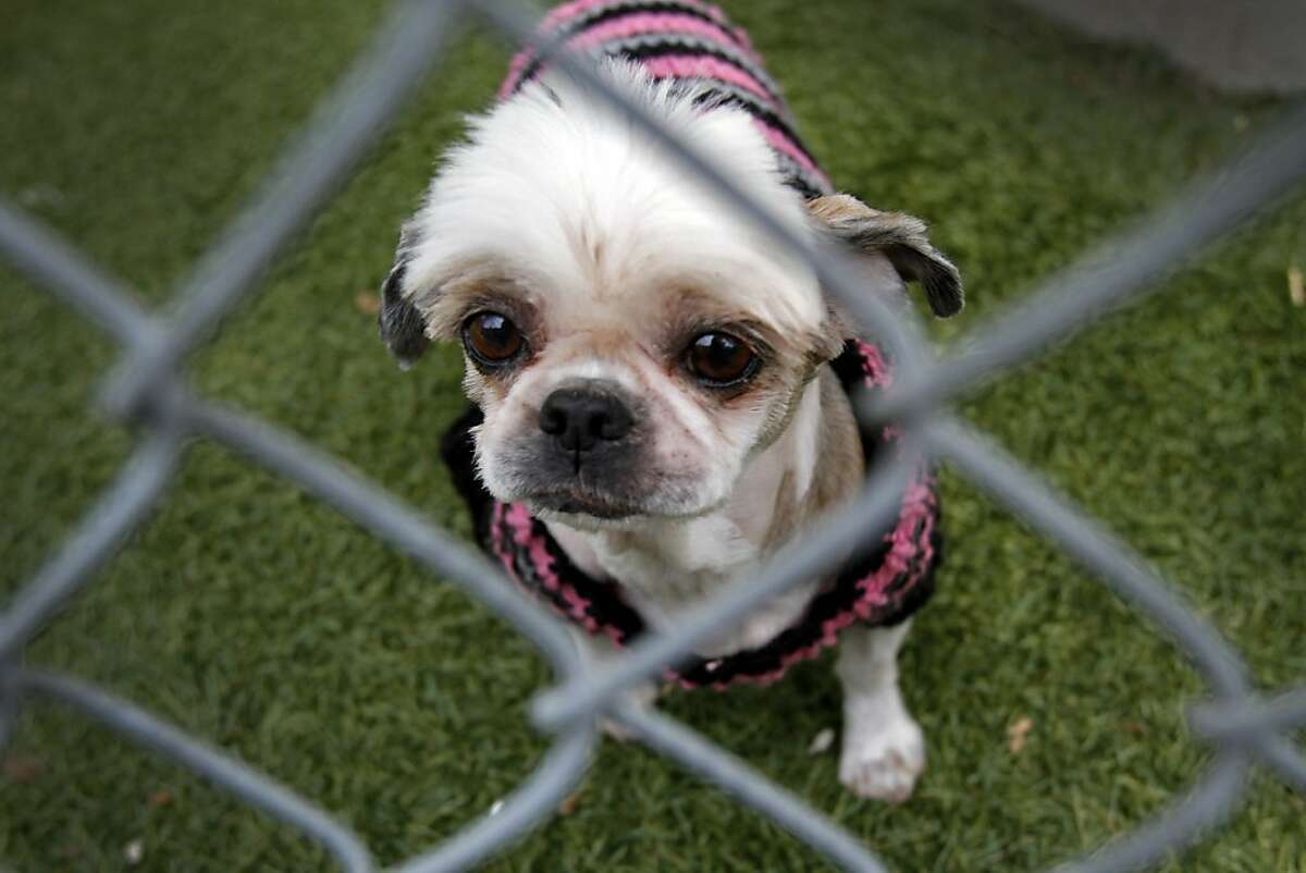 Pup-pourri Brianna Wine, a four-time championship shih tzu, was turned in to Oakland Animal Services after she was found wandering the city tangled in chicken wire in Oakland, Calif., Friday, March 23, 2012. Oakland animal control rescued her, checked her micro-chip and traced her to original owner, who told them her background.