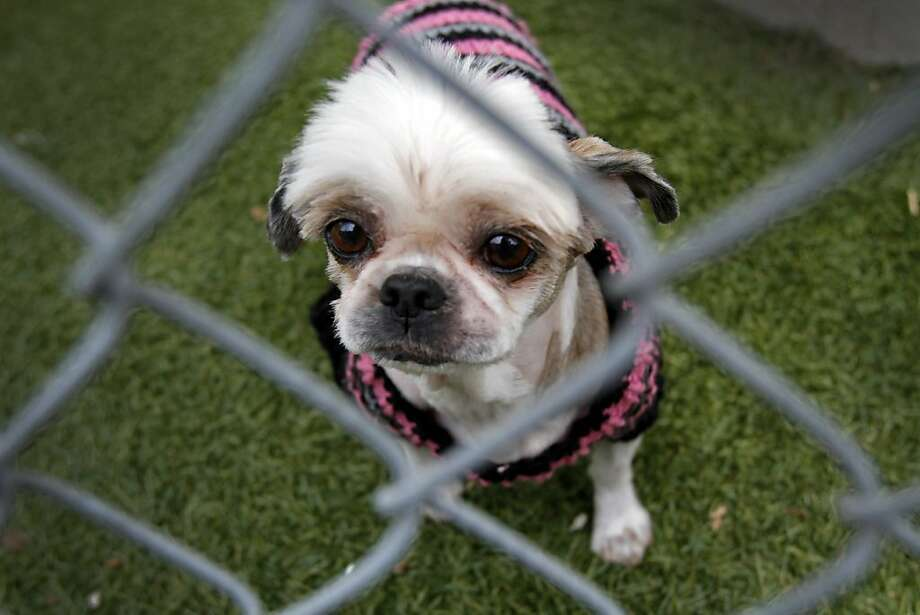 Pup-pourri Brianna Wine, a four-time championship shih tzu, was turned in to Oakland Animal Services after she was found wandering the city tangled in chicken wire in Oakland, Calif., Friday, March 23, 2012.  Oakland animal control rescued her, checked her micro-chip and traced her to original owner, who told them her background. Photo: Sarah Rice, Special To The Chronicle