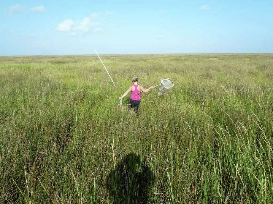 LSU Agricultural Center entomologist Linda Hooper-Bui uses a sweep net to collect insects from marsh grasses about 11 yards into a marsh near Wilkinson Bayou in Plaquemines Parish during a study last year. / LSU AgCenter