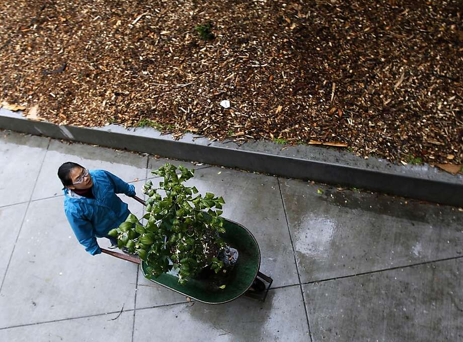 Kirby Wong wheels a tree to a location where it will be planted by volunteers from Friends of the Urban Forest in the Excelsior District of San Francisco, Calif. on Saturday, March 24, 2012. Photo: Paul Chinn, The Chronicle