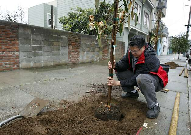 Craig Wong plants a tree near his home in the Excelsior District neighborhood, one of 55 put into the ground by Friends of the Urban Forest, in San Francisco, Calif. on Saturday, March 24, 2012. Photo: Paul Chinn, The Chronicle