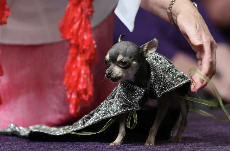 Princess Bebe, of the Order of the K-9 Ninitas, (tilde over second n), competes in the Fiesta Fidos and Fashion at North Star Mall, Sunday, March 25, 2012. A group of 11 dogs and their owners competed for the Best Dressed Fiesta Fido and the 2012 El Rey Fido and his court were informally presented to the public. The event benefits the San Antonio Humane Society. The 10th annual El Rey Fido Coronation will be held on April 14 at the Grand Hyatt at 10 a.m. The event is free and opened to the public. Photo: JERRY LARA, San Antonio Express-News / SAN ANTONIO EXPRESS-NEWS