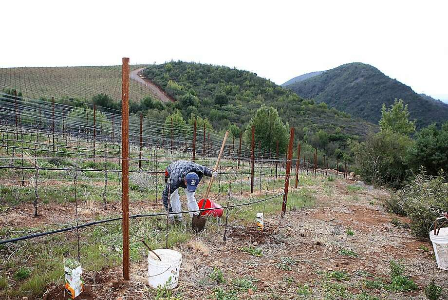 Cabernet sauvignon being replanted at Stagecoach vineyards in Napa, Calif., on Friday, March 23, 2012. Photo: Liz Hafalia, The Chronicle