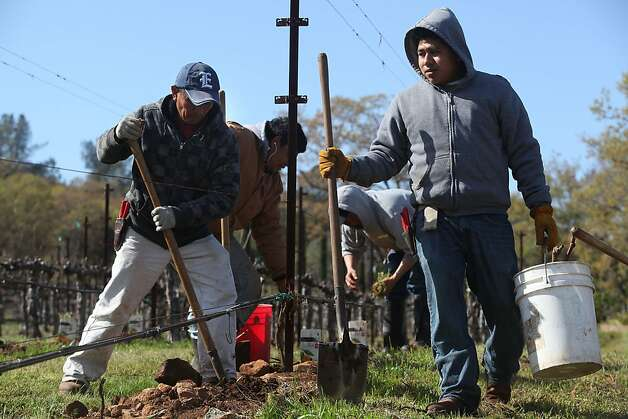Rogelio Parra (left) amd Mario Cruz (right) planting new vines in Krupp vineyard in Napa, Calif., on Friday, March 23, 2012. Photo: Liz Hafalia, The Chronicle