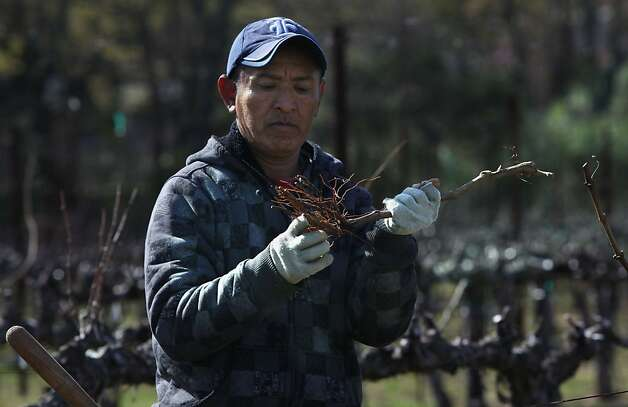 Rogelio Parra looking at the roots of a cabernet sauvignon before planting in Krupp vineyard in Napa, Calif., on Friday, March 23, 2012. Photo: Liz Hafalia, The Chronicle