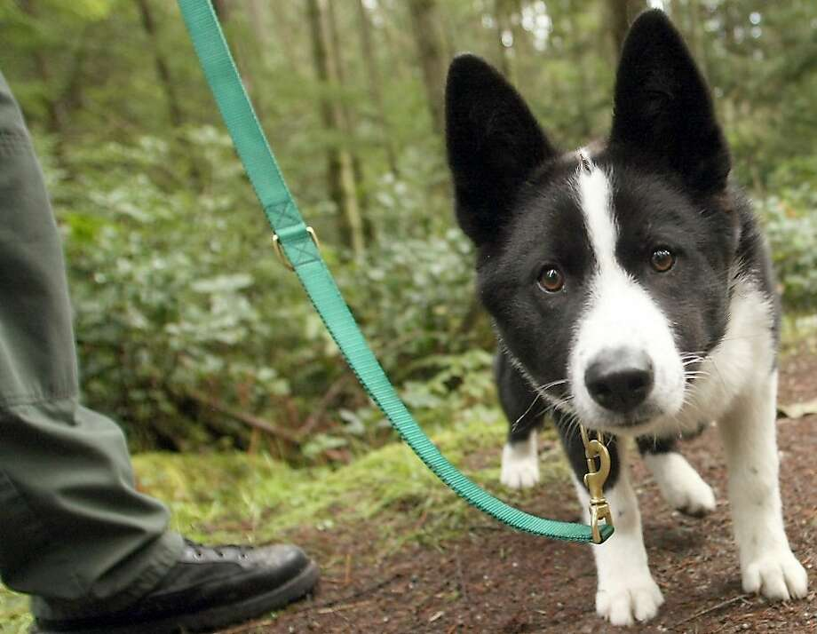 Spencer, a Karelian Bear Dog, walks along the trail with owner and handler Department of Fish and Wildlife Officer Dustin Prater during a training exercise at the Banner Forest in Port Orchard, Wash., on Thursday, March 22, 2012.  (AP Photo/MEEGAN M. REID, KITSAP SUN) Photo: Meegan M. Reid, Associated Press
