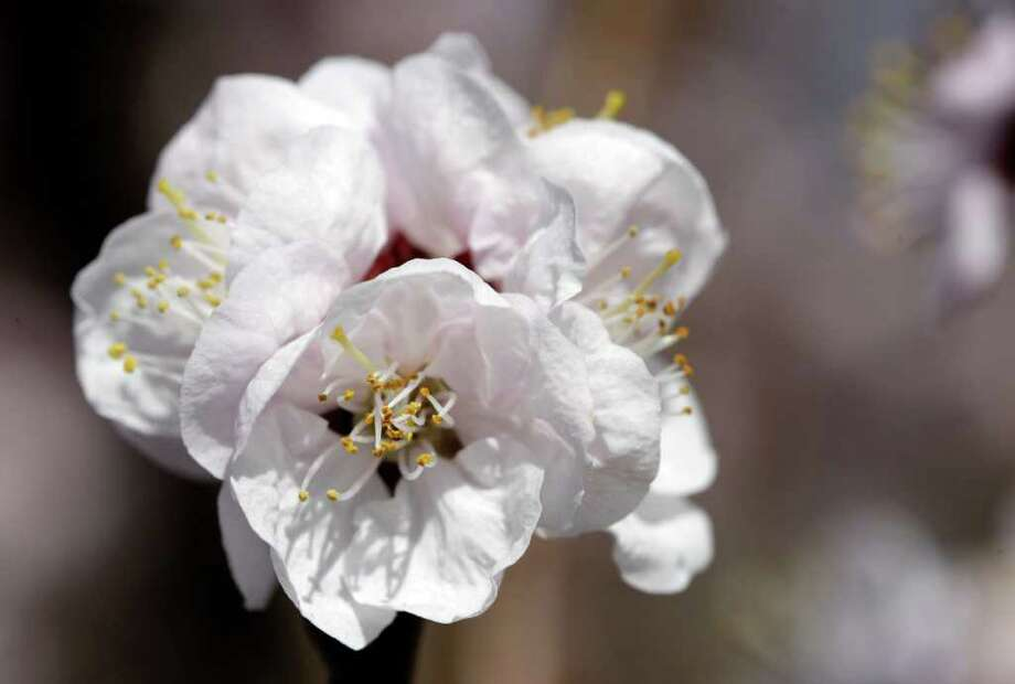 An apricot blossom is shown on Singer Farms Naturals in Appleton, N.Y., Monday, March 26, 2012. Cold air overnight threatens to freeze plants that have budded or blossomed early amid record-setting warmth. (AP Photo/David Duprey) Photo: David Duprey