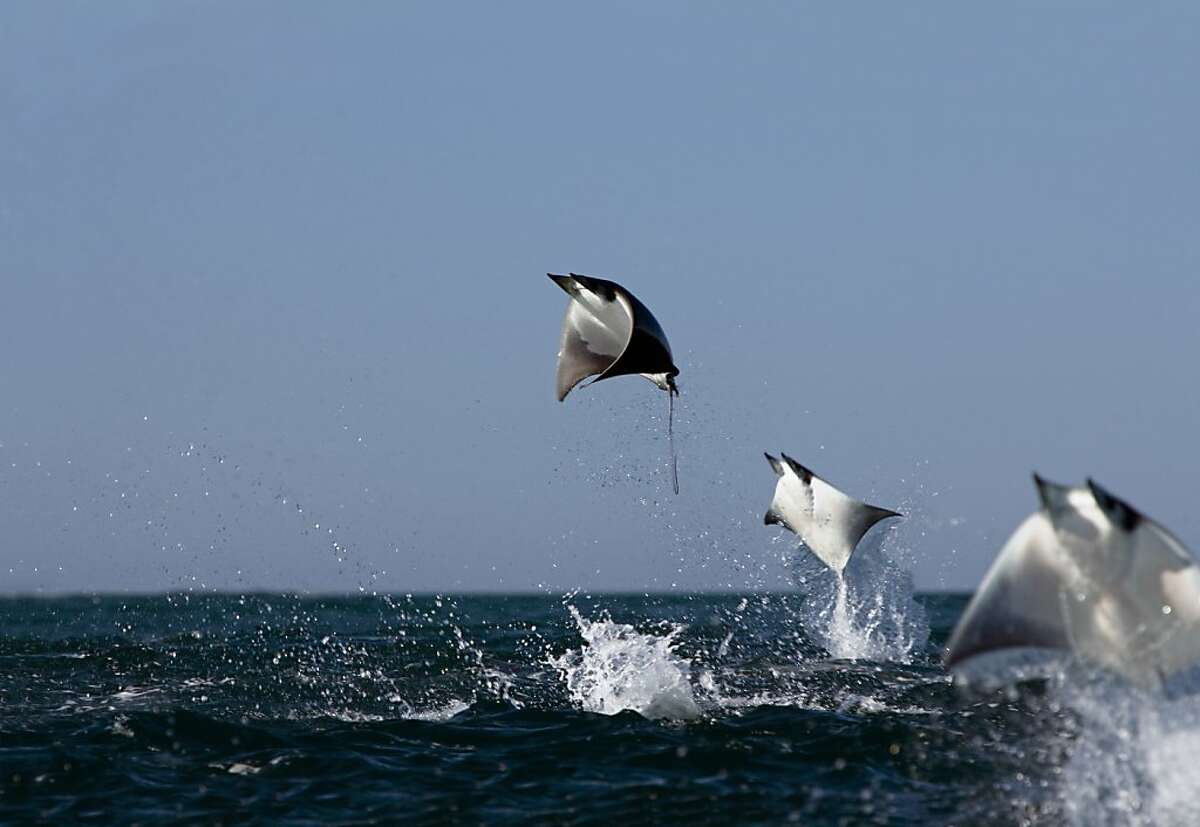 Rays jump from the Cabo Pulmo waters, which are slowly seeing the return of fish and other species to the area after years of deterioration.