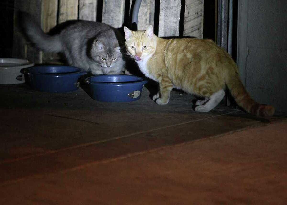 Feral cats Squeaker, left, and Candy chow down at the San Antonio Country Club.