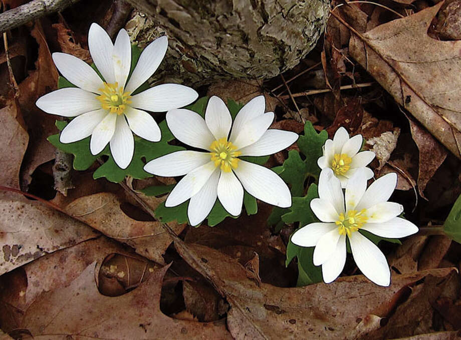 Bloodroot (Photo by Jacqueline Donnelly)