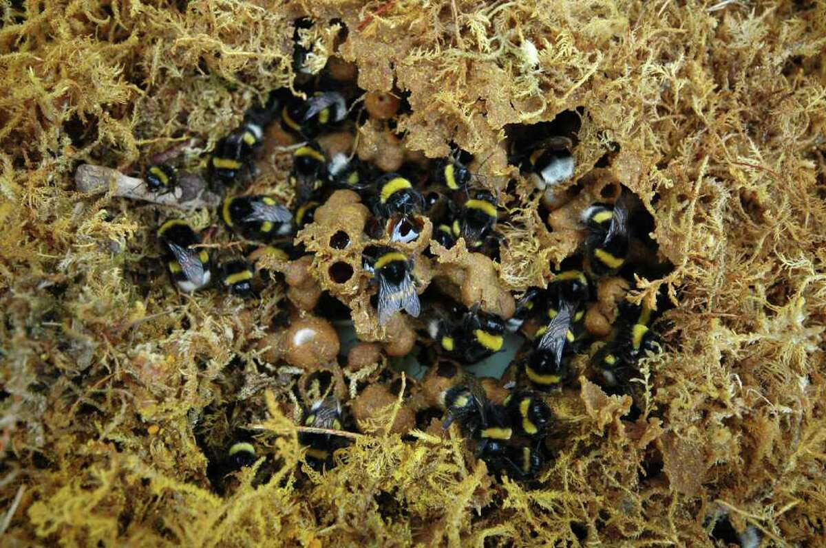 A recent British study of bumblebee colonies like this one suggests that neonicotinoids, a common pesticide, keep the bees from supplying their hives with enough food to produce new queens.