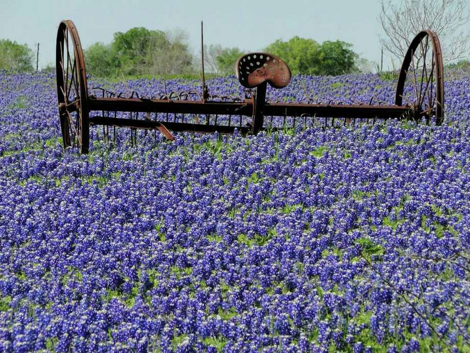 A rusty plow amid bluebonnets along the Bluebonnet Trail outside  Ennis, Texas, March 24, 2012. Photo: Tracy Hobson Lehmann