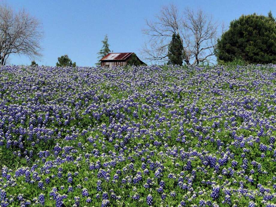 Bluebonnets are blooming early this year, thanks in part to the abundant rains in the fall and to the unusually warm and sunny days this winter. Photo: Tracy Hobson Lehmann, San Antonio Express-News
