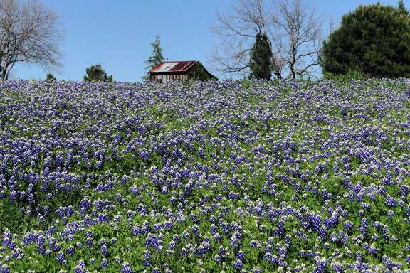 Bluebonnets are blooming early this year, thanks in part to the abundant rains in the fall and to the unusually warm and sunny days this winter.