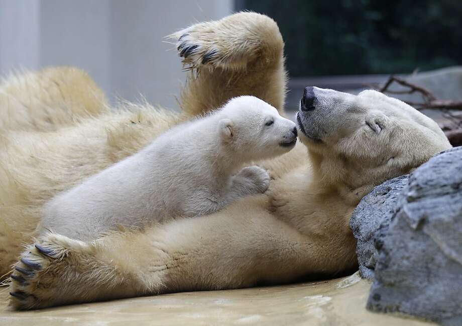 Female polar bear cub Anori plays with its mother Vilma in their outdoor enclosure at the Zoo in Wuppertal, Germany, on, Thursday, March 29, 2012. Anori was born January 4 and left the birth cave for the first time today. (AP Photo/Frank Augstein) Photo: Frank Augstein, Associated Press