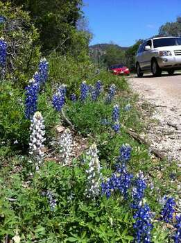 Rare white bluebonnets were spotted among the waves of traditional bluebonnets along Willow City Loop, north of Fredericksburg. (Terry Scott Bertling / San Antonio Express-News)