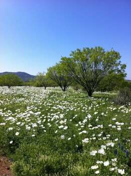 At some spots along Willow City Loop, fields of white flowers are almost as stunning as the waves of bluebonnets that attract the visitors to take a leisurely drive in the Hill Country. (Terry Scott Bertling / San Antonio Express-News)