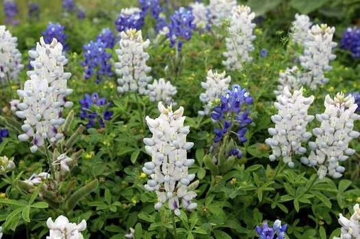 A rare group of white bluebonnets emerges in a patch off Loop 337 on the west side of New Braunfels on Thursday, March 29, 2012. Photo: TOM REEL, San Antonio Express-News / San Antonio Express-News