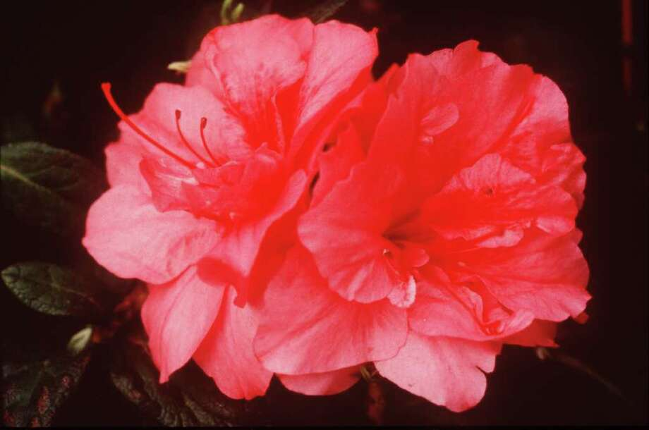 Autumn Rouge an Encore azalea that provides blooms in spring, mid-summer and fall. Photo: Courtesy Photo / handout slide