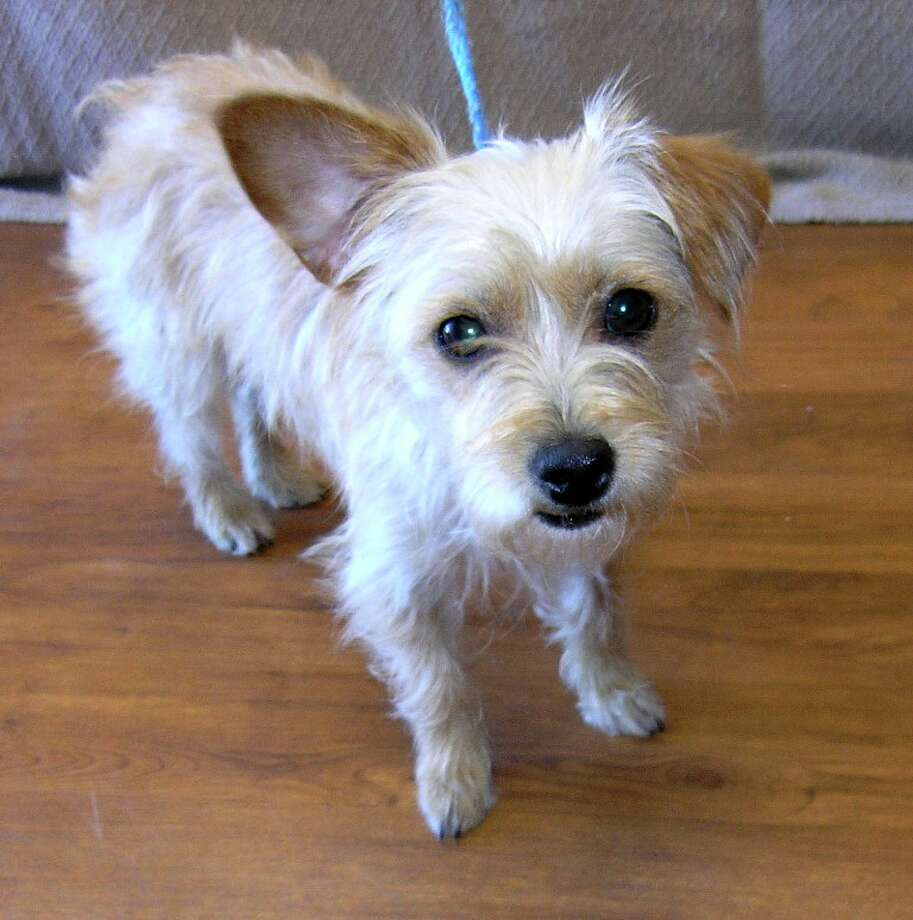 Wasabi, a 2-year-old Terrier Photo: Citizens For Animal Protection