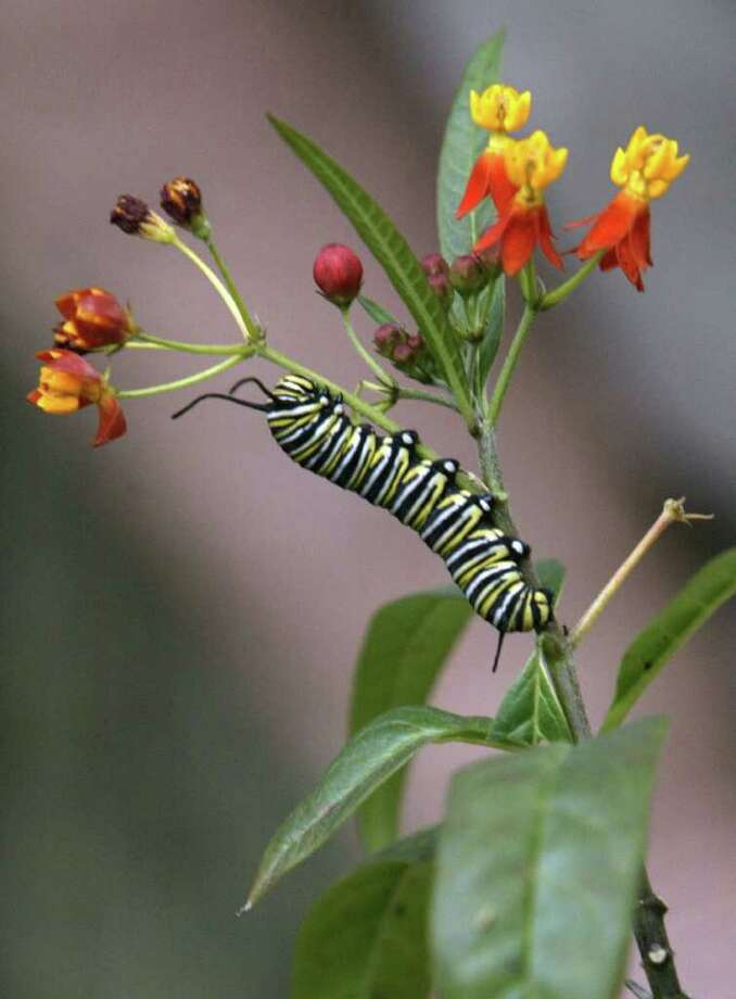 monarch caterpillar and butterflyweed Photo: Andrew Innerarity / Houston Chronicle