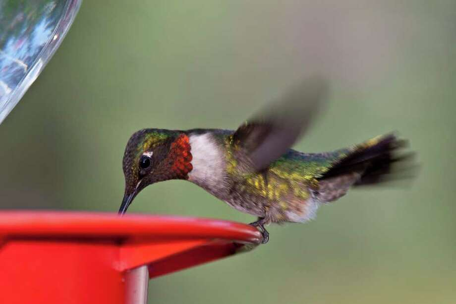 Ruby-throated hummingbirds, above, are arriving in the eastern half of Texasthis spring. Meanwhile, black-chinned hummingbirds, above left, are moving into the western part of the state.  Some are migrants, but many will stay to breed throughout the summer. Photo: Kathy Adams Clark / Kathy Adams Clark/KAC Productions