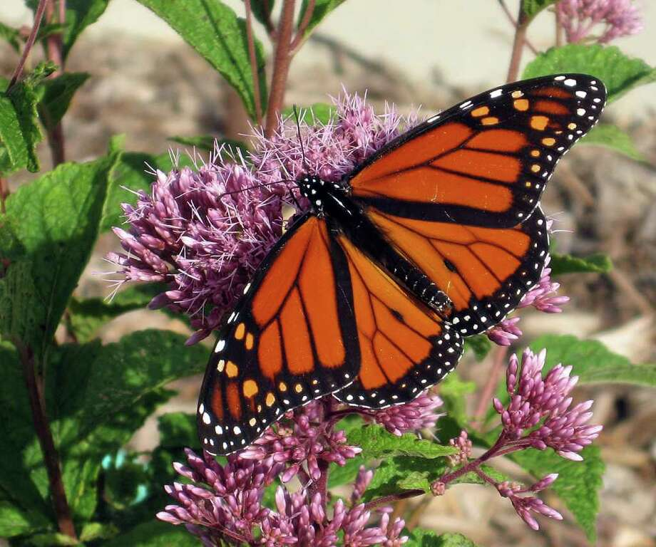 Joe-Pye weed attracts a monarch butterfly. (Courtesy Jan Newton/MCT) Photo: HANDOUT, HO / MCT